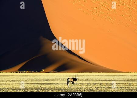 Spiessbock, Oryx Antilope (Oryx gazella) vor riesigen Sandduenen im letzten Abendlicht,  Namib Naukluft Nationalpark, Sossusvlei, Namibia, Afrika - Stock Photo