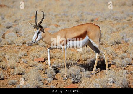 Springbock (Antidorcas marsupialis), Namib Naukluft Nationalpark, Sossusvlei, Namibia, Afrika - Stock Photo