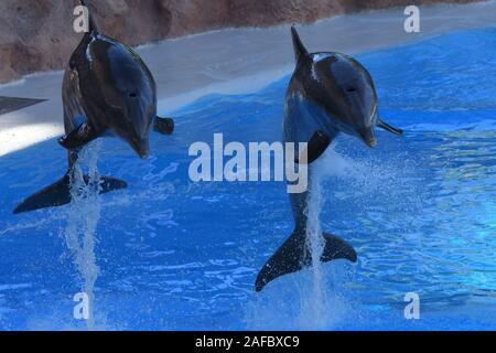 Portrait of two dolphins jumping out of the water during a dolphin show - Stock Photo