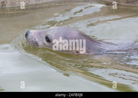 Close up of a young grey seal (halichoerus grypus )swimming in the water - Stock Photo