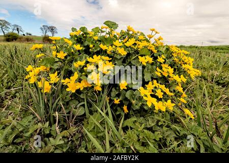 A clump of Marsh Marigold in marshy ground North Norfolk, UK. - Stock Photo