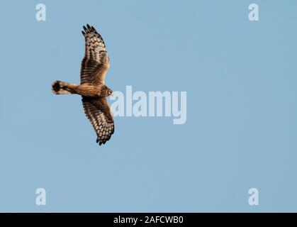 Ringtail/female Hen Harrier (Circus cyaneus) in flight over Oxfordshire - Stock Photo