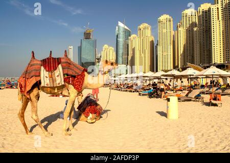 Dubai / UAE - November 7, 2019: Camels on JBR beach. Camels and modern urban background.Camels and Dubai skyscrapers background with sandy beach - Stock Photo