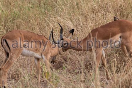 Two male Impalas (Aepyceros melampus) in a fight for death in Tangerine National Park, near Arusha in Tanzania, East Africa - Stock Photo
