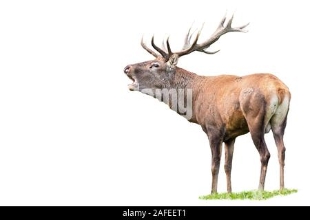 Red deer, cervus elaphus, stag with antlers roaring isolated on white - Stock Photo