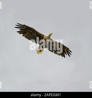 An adult White-tailed Sea-eagle (Haliaeetus ablicilla) against a cloudy sky at the island of Runde, north-western Norway. - Stock Photo