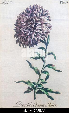 Hand colored vintage botanical engraving of a Double China Aster (Callistephus chinensis). - Stock Photo