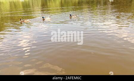 Three beautiful ducks swimming in lake. Copy spce photo - Stock Photo