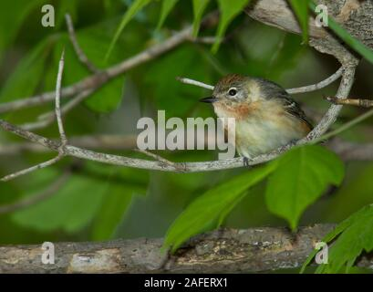 Bay-breasted Warbler (Dendroica castanea) , female - Stock Photo