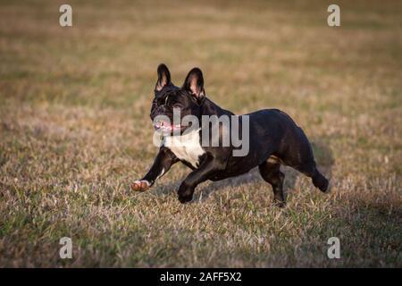 Black white French Bulldog running - Stock Photo