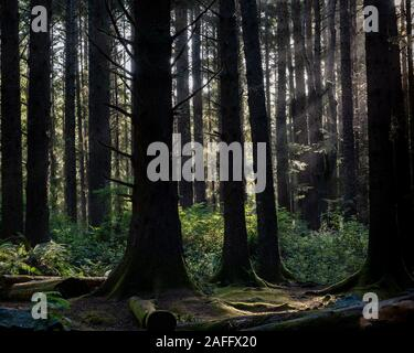 Sunrays in a coniferous tree forest in Humboldt County  California, in the summer, photographed during the day and viewed from a distance - Stock Photo