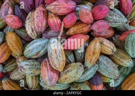 Cocoa bean drying, different color, before roasted close up Stock Photo