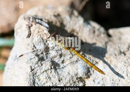 A female common darter dragonfly (Sympetrum striolatum) on a stone - Stock Photo