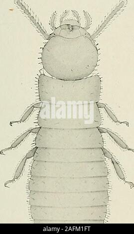 . Bulletin du Muséum national d'histoire naturelle. Fig. i. — Soldat. Xi3..  S Fig. 2. — Larve de h millim. fi.X i5. Stock Photo