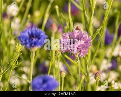 Beautiful wildflower varieties in an English Country Garden: Cornflowers (Centaurea cyanus) - Stock Photo