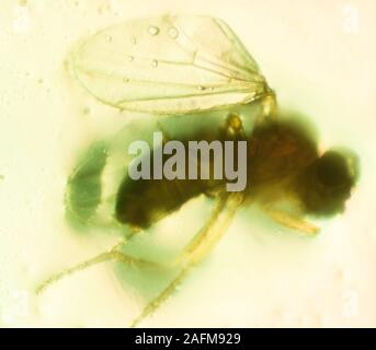 D. melanogaster is typically used in research because it can be readily reared in the laboratory, has only four pairs of chromosomes, breeds quickly, Stock Photo