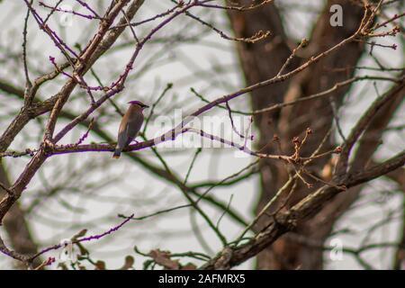 Cedar waxwing in tree in backyard in Joplin, Missouri - Stock Photo