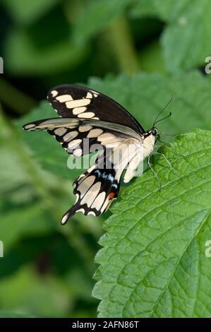 St. Paul, Minnesota. Como park  Butterfly Garden. Giant swallowtail butterfly; ' Papilio cresphontes'