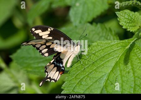 St. Paul, Minnesota. Butterfly Garden. Giant swallowtail butterfly; ' Papilio cresphontes'