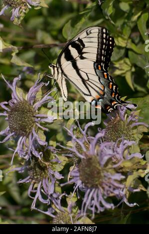 St. Paul, Minnesota. Phalen Park. Eastern Tiger swallowtail, ' Papilio glaucus' is native to North America.