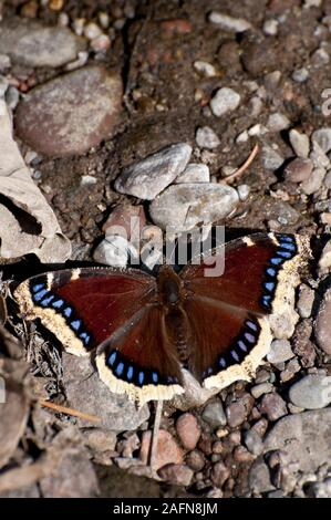 Vadnais Heights, Minnesota. John H. Allison forest. Mourning Cloak, ' Nymphalis antiopa'  warming itself in  the sun. - Stock Photo