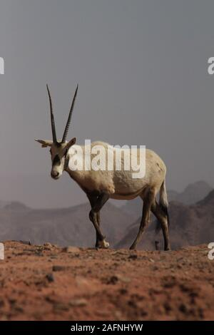 Arabian oryx (Oryx leucoryx) in the protected area in Wadi Rum. The white oryx was extinct in the wild since 1972. The reintroduction project for Jordan began when the Environment Agency - Abu Dhabi (EAD) and the Al Aqaba Special Economic Zone Authority signed a sponsorship agreement in April 2007. Under this agreement, EAD is sponsoring the project which includes reintroduction of the Arabian oryx into the Wadi Rum Protected Area, rehabilitating the habitat, and helping local residents to improve their living standards. The IUCN Red List still classifies the species as vulnerable. - Stock Photo