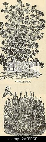 . Manual of everything for the garden : 1894. igsor poultry. They are very sweet and nutri-tious. Easily and cheaply grown, abundantin yield, greedily eaten by hogs, which takeon firm fat from them. They mature inSeptember, and lie in the soil till wanted, orpigs can be turned into the patches. Onepeckof seed per acre. (See cut.) Per package, 10c.;pint, by mail, 35c. By express, per pint, 30c.;per peck, $1.50 ; per bush., $5.00. Chives. (See cut.) 25c. per bunch or clump. Hop. 20c. each, $2.00 per doz. Horse-Radish Boots. 25c. doz., 75c. 100,$6.00 1,000. Mint. 20c. each, $2.00 per doz., $8.00 - Stock Photo