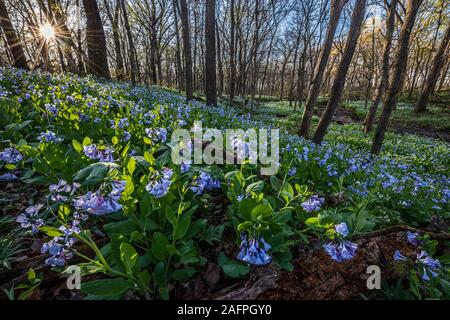 An April sun rises to warm a spring woodland blooming with Virginia bluebells (Mertensia virginica), a spring ephemeral flower found under the trees - Stock Photo