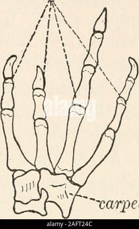 . The animans and man; an elementary textbook of zoology and human physiology. , spheno-ethmoidmaxillary ,squamosal digits .ex-occipital. carpelsC—-radio-ulna sacral vertebra^ supra-scapula * humerus - Stock Photo