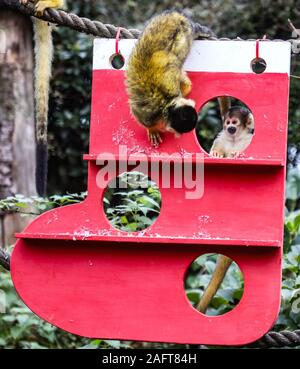 London, UK. 16th Dec, 2019. Squirrel Monkeys Get Into the Christmas Spiritat at the ZSL London Zoo. Credit: Brett Cove/SOPA Images/ZUMA Wire/Alamy Live News - Stock Photo