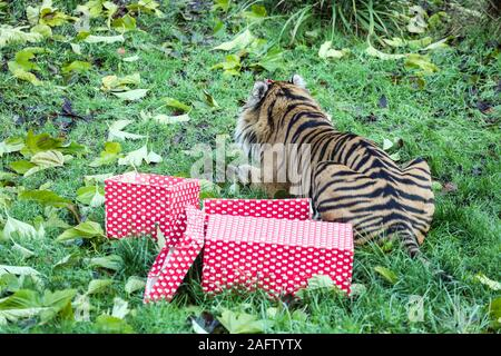 London, UK. 16th Dec, 2019. Asim the Sumatran Tiger Gets Into the Christmas Spiritat at the ZSL London Zoo. Credit: SOPA Images Limited/Alamy Live News - Stock Photo