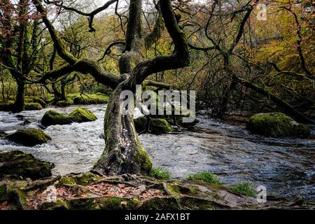 The River Fowey flowing through an autumnal Draynes ancient woodland in Cornwall. - Stock Photo