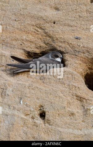 Sand Martin / Bank Swallow ( Riparia riparia ) sitting in, digging its nest hole, part of a breeding colony in a sand pit, wildlife, Europe. - Stock Photo