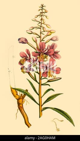 "'Rosebay Willowherb', late 18th-early 19th century, (1944). Botanical illustration from ""English Botany"" by James Sowerby. Published in ""Wild Flowers in Britain"", by Geoffrey Grigson. [Collins, London, 1944] - Stock Photo"
