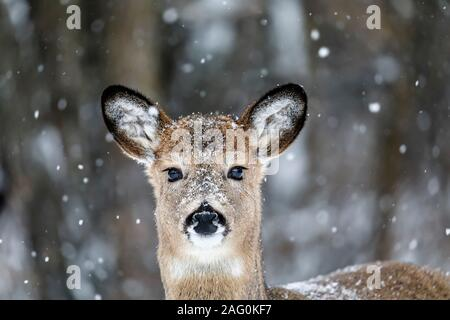 White-tailed Deer, Odocoileus virginianus, doe, in snow, Birds Hill Provincial Park, Manitoba, Canada.