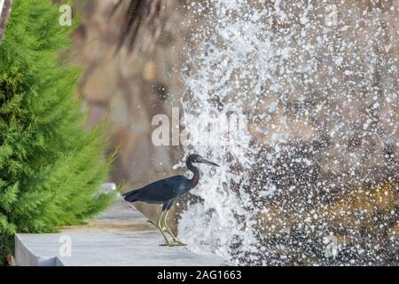 Saint Vincent and the Grenadines, Little Blue Heron close up - Stock Photo