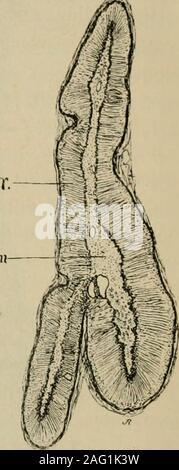 . Lehrbuch der Gewebelehre; mit vorzugsweiser Berücksichtigung des menschlichen Körpers. mitunternm schwer oder gar nicht erkannt werden können.An Zupfpräparaten findet man sie gewöhnlich inmannigfacher Weise zertrümmert, daneben auchfrei herumschwimmende Kerne. Nebst diesenZellenformen enthält die Rindensubstanz auchkleinere, cubische oder auch cylinderähnlicheoder spindelförmige Zellen (letztere insbesondere reichlich beim Pferd und in den oberflächlichsten Rindenschichten) inwechselnder Zahl. Die Zellen der Zona reticularis enthalten braunes,körniges Pigment. Die zelligen Elemente der Marks - Stock Photo