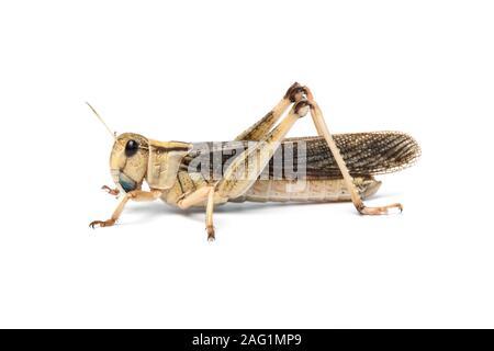Migratory locust, Locusta migratoria, Africa - Stock Photo