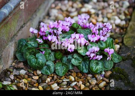 A Pink/purple Cyclamen plant, a hardy tuberous perennial, growing in a gravel border outside, England, UK Stock Photo