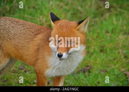 A gorgeous young male Red Fox at Pitseas Wat Tyler Country Park Essex - Stock Photo