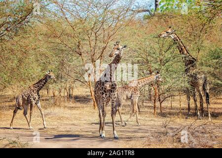 Group of giraffes, Giraffa camelopardalis reticulata in Bandia reserve, Senegal. It is close up wildlife photo of animal in Africa. There are adult gi - Stock Photo