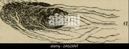 . Lehrbuch der Gewebelehre; mit vorzugsweiser Berücksichtigung des menschlichen Körpers. - Stock Photo