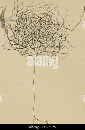 . Lehrbuch der Gewebelehre; mit vorzugsweiser Berücksichtigung des menschlichen Körpers. itzwinklig vor der grauenCommissur kreuzen, erwähnt. Diese Kreiizunyscommiss urbesitzt in verschiedenen Höhendes Rückenmarks verschiedeneÄlächtigkeit; im oberen Halstheilnimmt sie rasch an Umfang zuund bildet so den Beginn derPyramidenkreuzung (siehe un-ten). In ihr finden sich allerortseinzelne Bündel senkrecht auf-steigender Fasern. Viel mannigfaltiger undungleich complicirter ge-stalten sich die nervösenElemente der grauen Sub-stanz. Es sind hier Nerven-fasern und Nervenzellen zuberücksichtigen. Die mar - Stock Photo