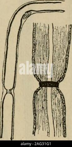 . Lehrbuch der Gewebelehre; mit vorzugsweiser Berücksichtigung des menschlichen Körpers. rungen des Nervenmarkes her-vorrufen (Alkohol, Säuren), das raschereEindringen an den eingeschnürten Stellenconstatiren kann, so dass meistens aufeine kurze Strecke diesseits und jenseitsdes Schnürringes sowohl die SchwannseheScheide als auch der Axencylinder deutlicher als anderswo hervor-tritt (Fig. 21 B). Unter der Bezeichnung Hornseheiden haben Kühne und Ewald einNetzwerk von feinen Fädchen beschrieben, welches einerseits zwischenSchicannscher Scheide und Nervenmark, andererseits zwischen demletzteren - Stock Photo