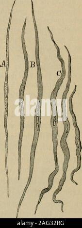 . Lehrbuch der Gewebelehre; mit vorzugsweiser Berücksichtigung des menschlichen Körpers. r durch seine langgestreckte,wie man sich auszudrücken pflegt, stähchen-artifje Form so sehr ausgezeichnet ist, dassman sich für gewöhnlich berechtigt hält, ausder Anwesenheit solcher Kerne auf glatteMuskelfasern zu schliessen. Er enthält einoder zwei glänzende Kernkörperchen. In sei-ner nächsten Umgebung sind häufig einzelnemattglänzende Körnchen in die Substanz derFaser eingelagert. Eine Zellmembran oderüberhaupt eine diflPerenzirte Umhüllungsschichteauf ihrer Oberfläche konnte bis jetzt nicht nachgewies - Stock Photo