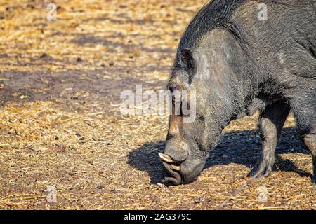 Close up photo of Warthog , Phacochoerus aethiopicus is running along a dirt road for safari in Bandia reserve, Senegal. It is a wildlife photo from - Stock Photo