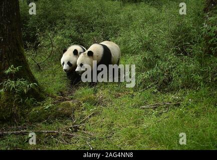 Beijing, China. 18th Dec, 2019. The image captured by an infrared camera on July 24, 2019 shows a pair of sub-adult giant panda twins at Wolong National Nature Reserve in southwest China's Sichuan Province. The images and video clips, captured by an infrared camera in July for the first time, show two wild pandas, about 2 years old and the same size, playing under a tree at an altitude of 3,100 meters near a bamboo forest on Niutou Mountain. Sub-adult pandas refer to giant pandas aged between 2 and 5 years old. Credit: Xinhua/Alamy Live News - Stock Photo