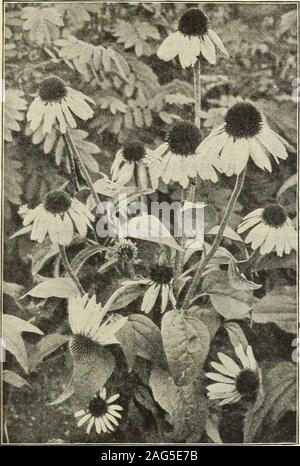 . Dreer's 1913 garden book. H 237. Rudbeckia Purpurea (Giant Purple Cone-flower) RlDBEtKIA (Cone-Hower). Indispensable plants for the hardy border; grow and thrive any-where, giving a wealth of bloom, which are well suited for cutting. Fulgida. Brilliant orange-yellow flowers, produced in masses onmuch-branched plants, 2 feet high, from July to September. Golden Glow. A well-known popular plant, a strong,robust grower, attaining a height of 5 to 6 feet, and producesmasses of double golden-yellow Cactus Dahlia-like flowers fromJuly to September. Maxima. A rare and attractive variety, growing 5 - Stock Photo
