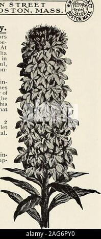 . Rawson's garden manual / W.W. Rawson & Co.. Lobelia Illumination Dwarf; 4915 - Stock Photo