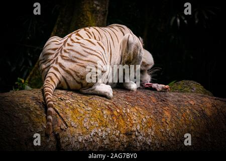A closeup shot of a tiger sitting on a wooden tube eating a piece of meat - fighting for survival - Stock Photo
